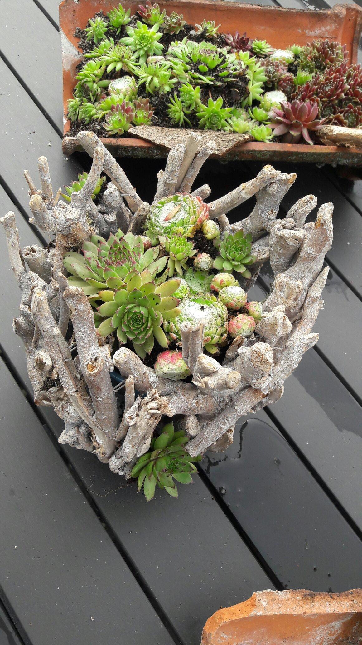 Gartendekoration Dachrosen Dachrosen Dachwurz Hauswurz